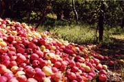 Near Zagora - Apples everywhere - Click to enlarge